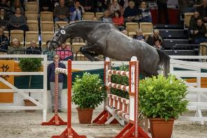 The three-year-old stallion Stoertebeker won the Trakehner Free-jumping Cup with superiority. (Photo: Stefan Lafrentz)